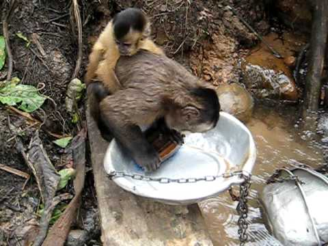 Funny monkey washing