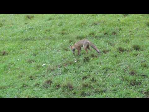 Fox Pups Playing in a Central Coast state Forest NSW Australia