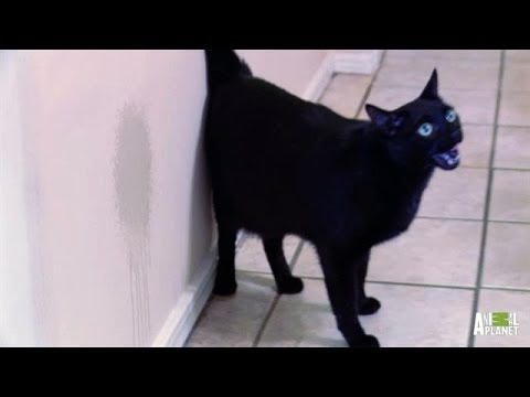 Ben Has Made Peeing in the House a Full Time Job | My Cat From Hell