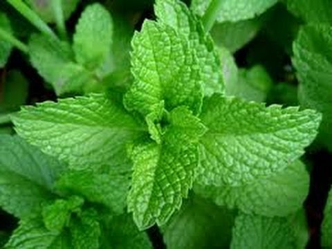 Great Benefits of Mint Leaves - Health Tips - Health Benefits