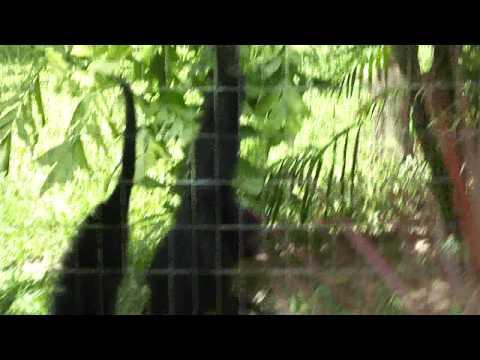 Macaco-ARANHA-DE-CARA-VERMELHA (Ameaçado de extinção) #Vídeo 2