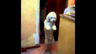 Perro bailando Gangnam Style