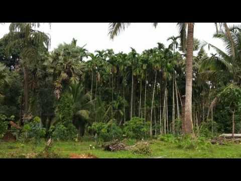 Rubber plantation near Kundapura, Karnataka