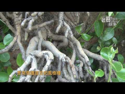高雄市8棵百年老樹故事-海茄苳(影片長度:3分26秒)