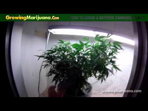 How To Grow A Mother Cannabis Plant