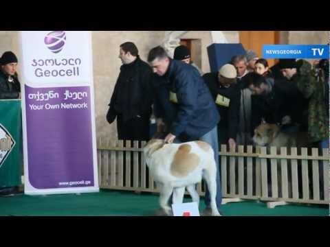 Выставка кавказских овчарок / Caucasian shepherd dog