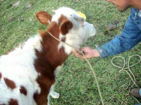 Como hacer un cabezal o jáquima para amarrar animales. Por Oscar Bernal