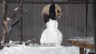 Giant Panda vs. Snowman