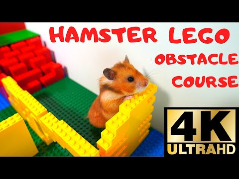 Brave little hamster in lego obstacle course. Funny pet.