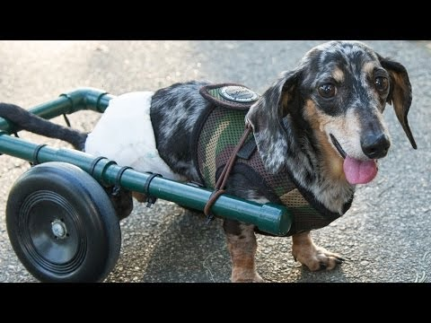 Paralyzed Dog Gets Wheels - Ricky Bobby