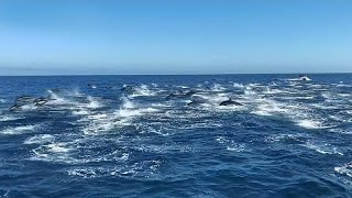 مئات الدلافين تسبح قبالة شواطئ كاليفورنيا