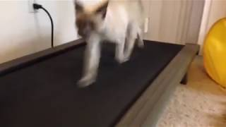 [(Fast) Siamese Cat Running on a Treadmill] Video