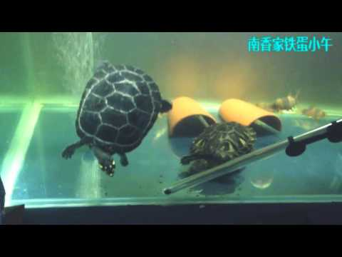 20140422 My Yellow-spotted Amazon River Turtle And Red Ear Slider Turtle2
