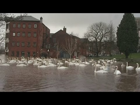 UK floods: Swans take over Worcester