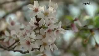 الأعاصير تخدع أزهار الكرز في اليابان