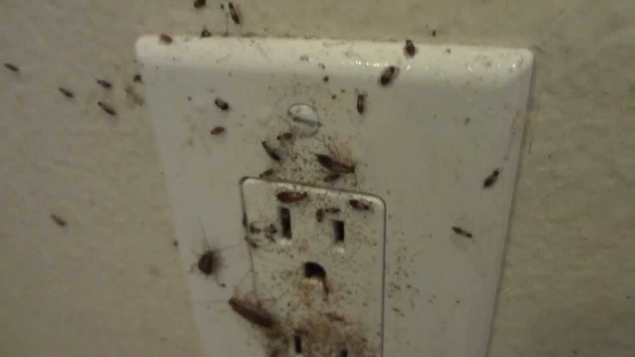 German Cockroaches Inside Wall Outlet Youtube