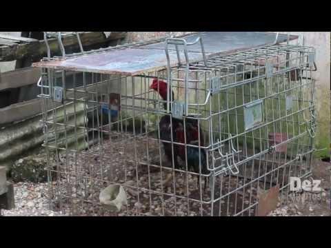 Em Manaus, rinha de galo é desativada pela polícia no Dom Pedro