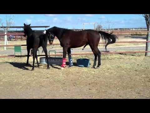 HORSE BREEDING   PART 2   NATURAL  BREEDING HORSE   HORSE MATING    THOROUGHBREDS