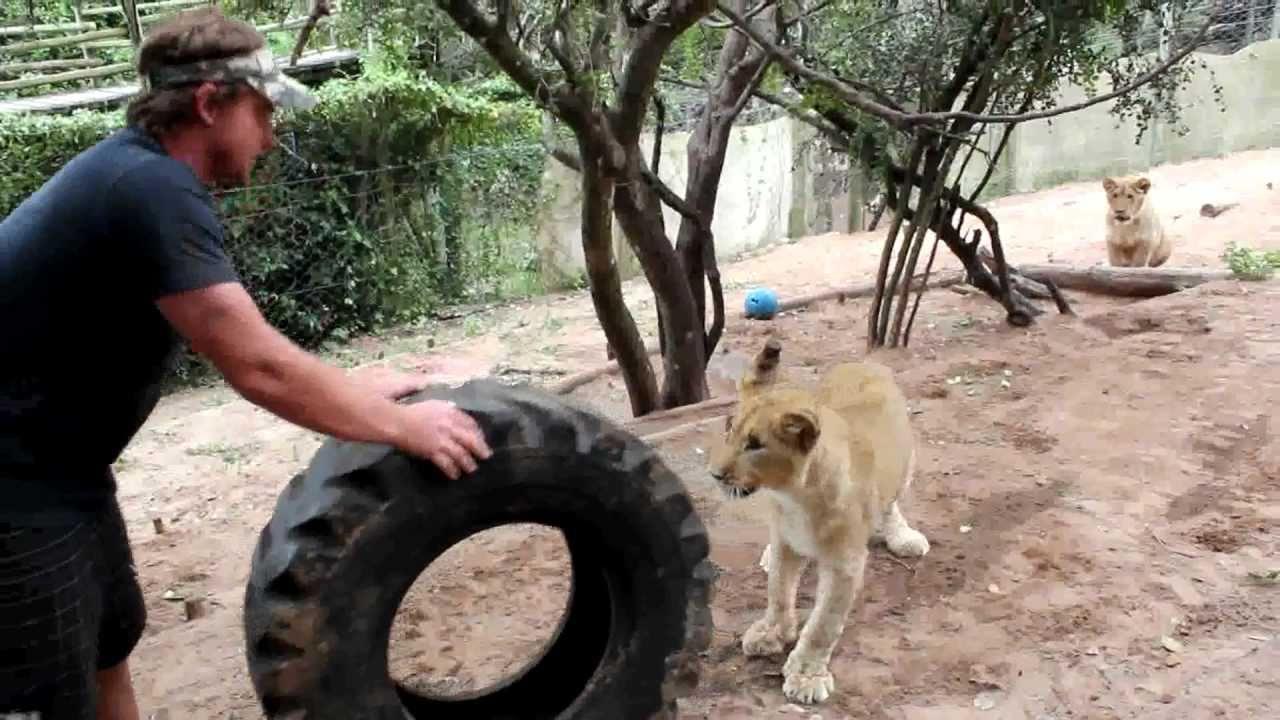 Lion cubs learning to hunt youtube for Divan grobler