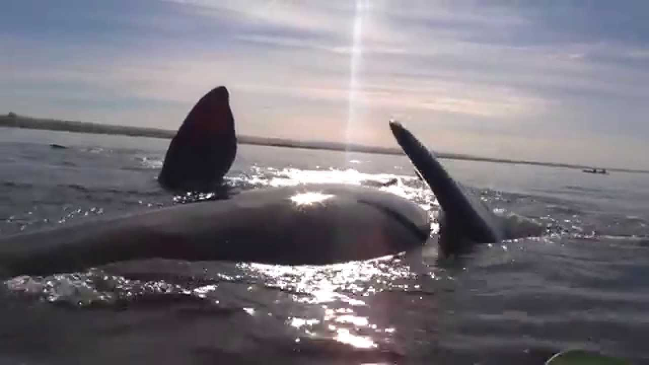 Un kayak soulevé par une baleine