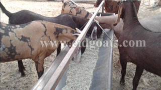 Al-Buraq Goat Farm Eid Goat Sirohi Goat Sojat Goat