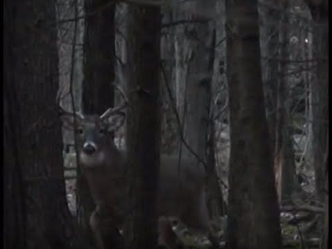 Chevreuil 8 pointes sur le call / 8 pts deer on grunt call ( PetePeter®)
