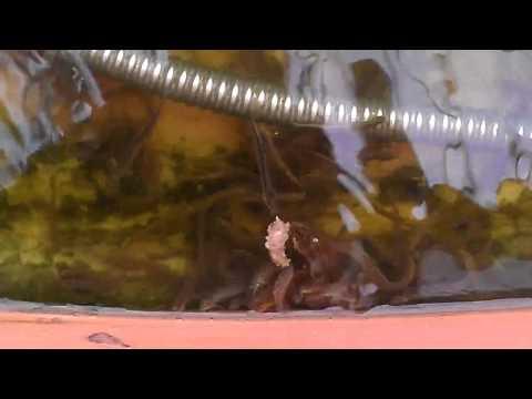 kĩ thuật nuôi cá chạch bùn