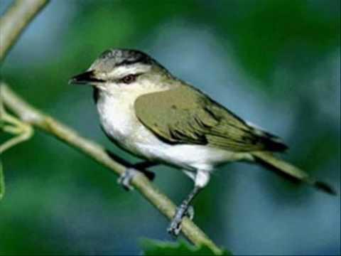 O CANTO DOS PÁSSAROS-2, Como cantam os pássaros brasileiros como o Bem-te-vi;Curicaca;Juruviara e o Sabiá Laranjeira.
