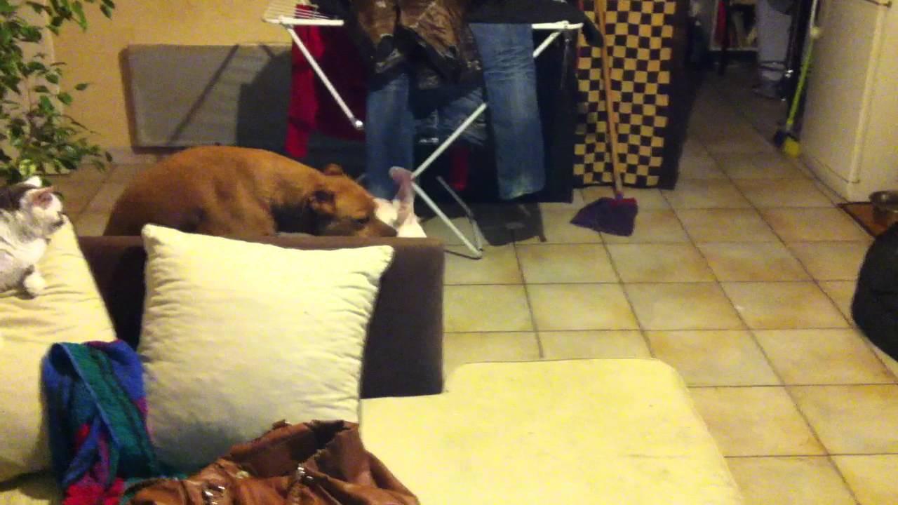 Bebe dogue Argentin 4 mois et Croisé Staff boxer 5 ans