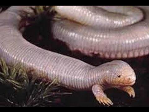 Loài rắn độc khổng lồ nguy hiểm   Thế giới động vật