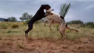 Doberman Vs. Wolfhound