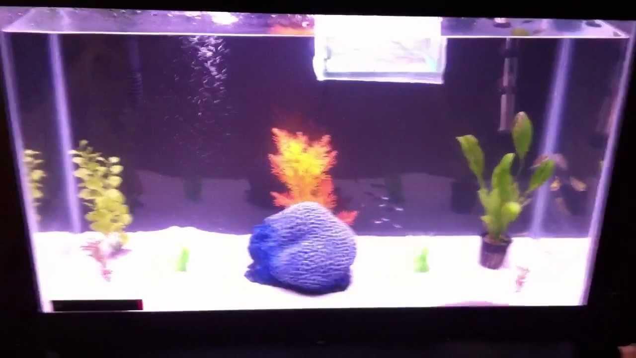 Dwarf puffer fish tank size for Fish tank measurements