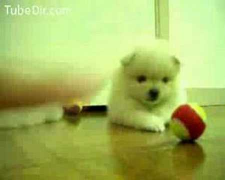 Cute puppy plays with ball, playing puppies Two puppies playing with balls cute puppies kind of boring video This is too cute A tiny little fuzzball of a puppy is filmed playing with a ...