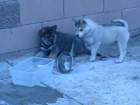Cute Husky / Wolf mix Puppies playing, Mix Siberian Husky Puppies at play.