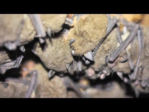 Bats in Crisis: Origins
