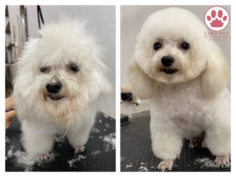 Cắt tỉa lông cho Poodle cực dễ thương / How to grooming for poodle?