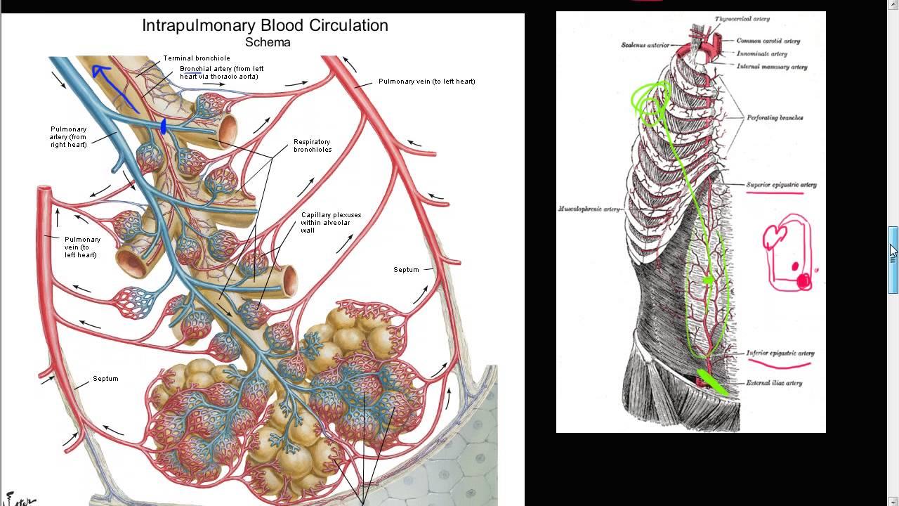 59p bronchial artery collateral circulation