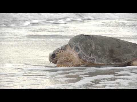 Loggerhead Sea Turtle Returned to Ocean after Multiple Surgeries to Remove Fishing Hooks