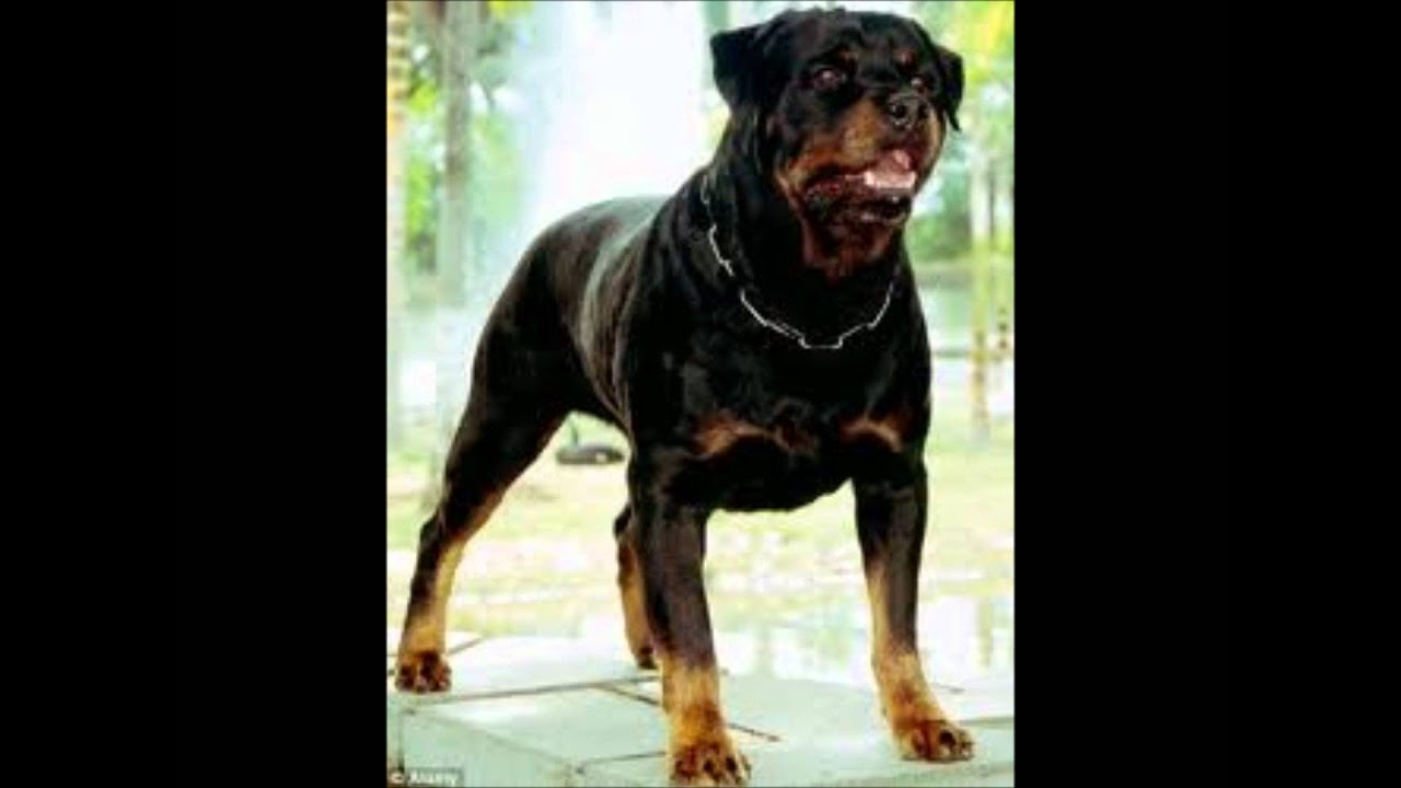 Pin Angry Rottweiler Wallpapers On Pinterest
