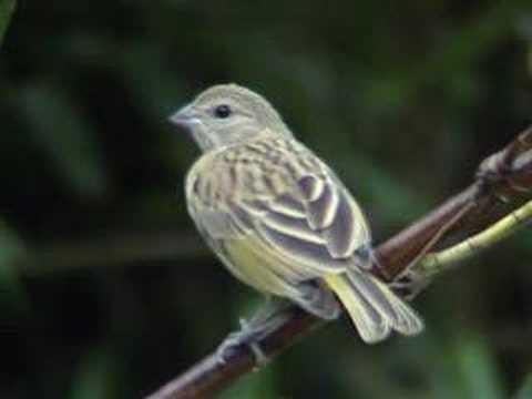 CANÁRIO-DA-TERRA Sicalis flaveola - Fêmea