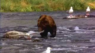 Shark Jumps Out Of River And Bites Bears Head