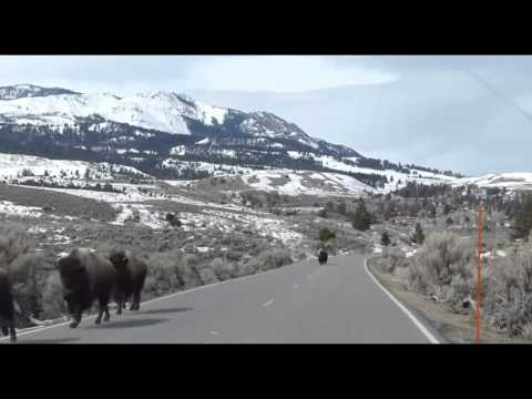 Animals Fleeing From Yellowstone Supervolcano?