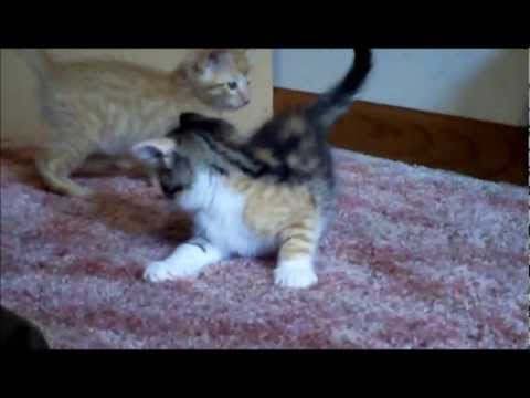 Kittens Chasing a Laser