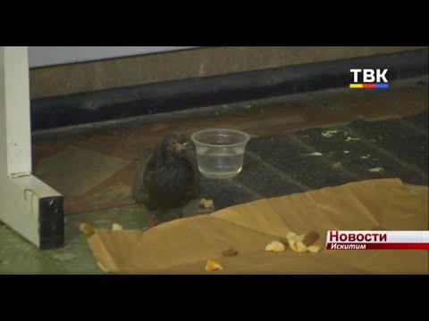 Работницы спорткомплекса Искитима спасли от гибели голубя