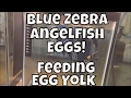 How to feed egg yoke to fish Marble Angel Free Swimmers Hi Fin Lyre Tail Sword Fin