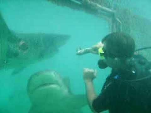 Alimentando tubarão no seaquarium curacao
