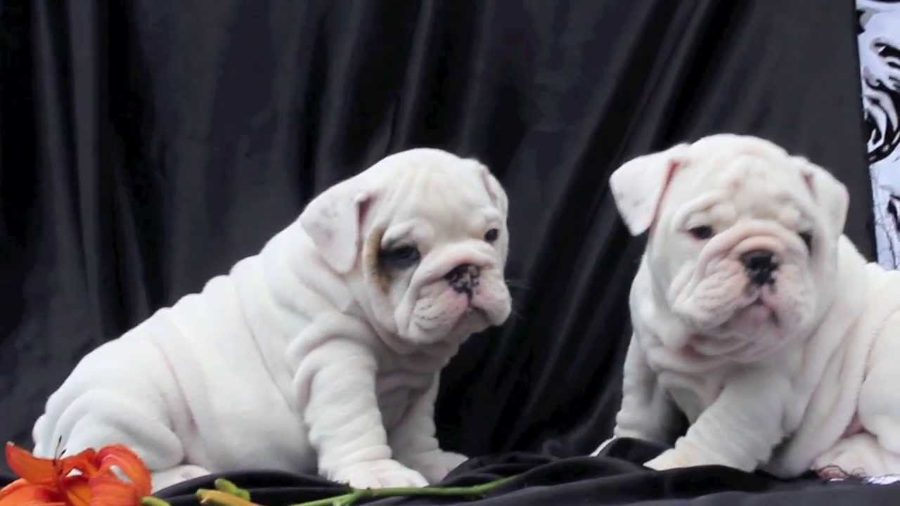 White English bulldog puppies for sale - YouTube