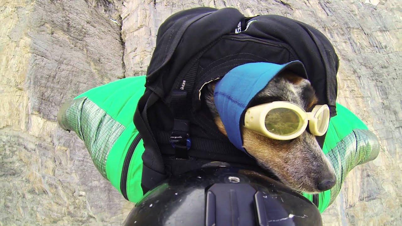 Première mondiale : le chien qui saute en wingsuit
