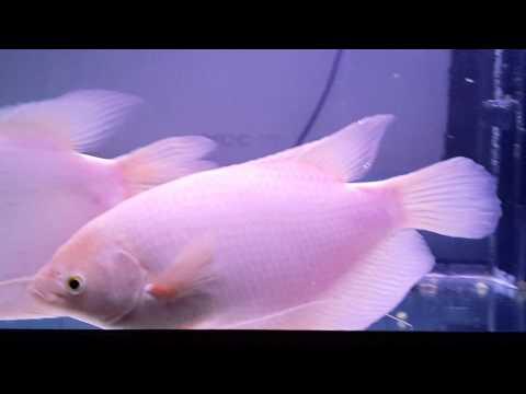 ปลาแรดเผือก สวยงามมาก