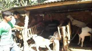 Boer Local Khari Goat Farming In Waling10 Pakhu Syangja